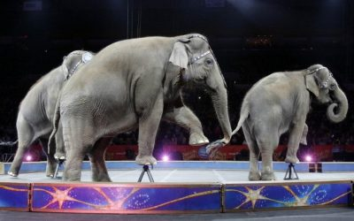 Circus Elephants Life after Ringling Brothers Held Its Last Show in April 2017