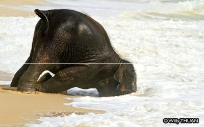 Baby Elephant on the Beach and Walking through the Waves – What Happens Behind the Scenes?
