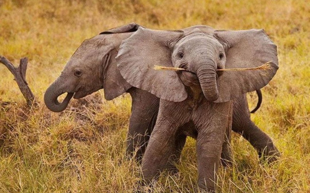 baby elephants playing in the wild