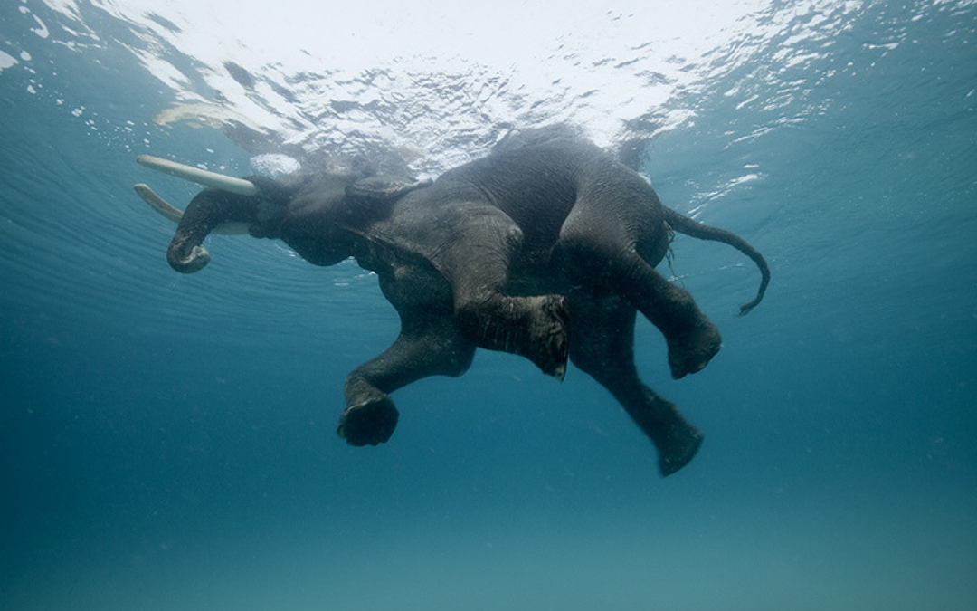 Rajan, swimming elephant